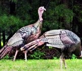 A Pair Of Wild Turkeys Foraging In A Field