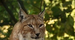//pixabay.com/photos/lynx-animal-big-cat-cat-wildcat-414730/