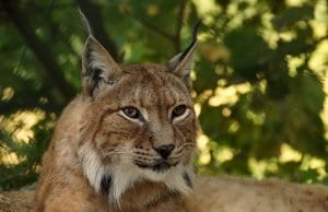 https://pixabay.com/photos/lynx-animal-big-cat-cat-wildcat-414730/