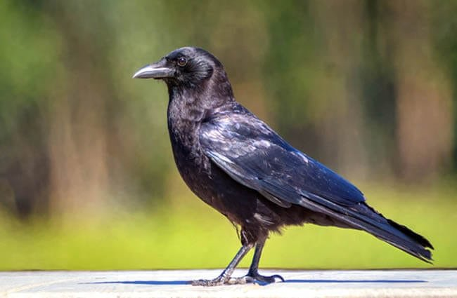 American Crow on the backyard fencePhoto by: Becky Matsubarahttps://creativecommons.org/licenses/by/2.0/