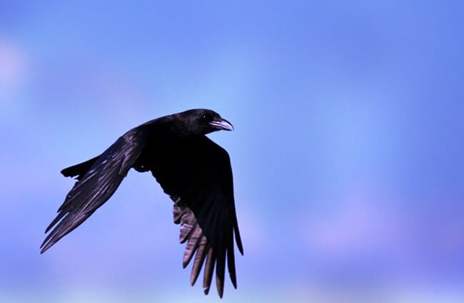 American Crow in flight Photo by: cuatrok77 https://creativecommons.org/licenses/by/2.0/