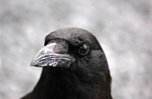 Closeup of an American Crow Photo by: cuatrok77 https://creativecommons.org/licenses/by/2.0/