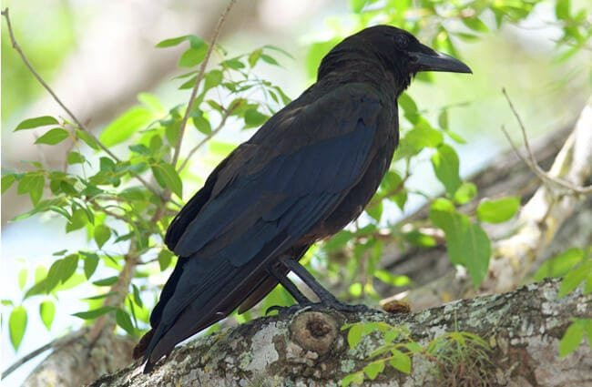 American Crow at Everglades National Park in Florida Photo by: Brandon Trentler https://creativecommons.org/licenses/by/2.0/