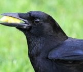 American Crow With A Cheese Puff For Lunch Photo By: Fyn Kynd Https://Creativecommons.org/Licenses/By/2.0/