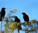 A Trio Of American Crows Perched Atop A Tree Photo By: Cuatrok77 Https://creativecommons.org/licenses/by/2.0/