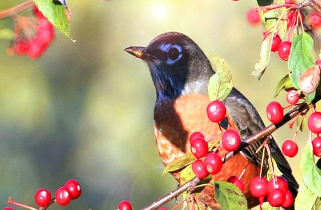 American Robin on a berry bush Photo by: Hernan Vargas https://creativecommons.org/licenses/by-sa/2.0/