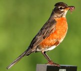 American Robin Perched On A Fence Photo By: John Benson Https://creativecommons.org/licenses/by-Sa/2.0/