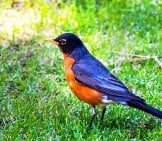 American Robin On The Front Lawn Photo By: Christopher Henry Https://creativecommons.org/licenses/by-Sa/2.0/