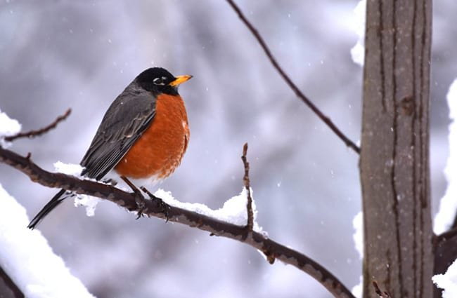 American Robin on a snowy branch Photo by: Laura Wolf https://creativecommons.org/licenses/by-sa/2.0/