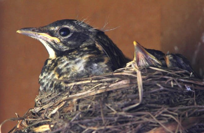 American Robin mom in the nest with her babies Photo by: WisconsinKaasKop https://creativecommons.org/licenses/by-sa/2.0/