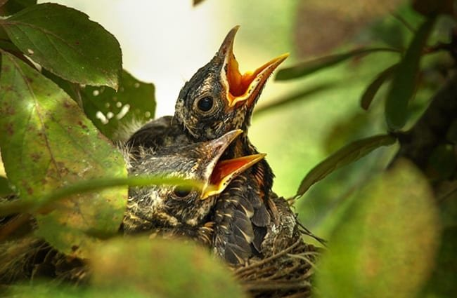 American Robin chicks clamoring for dinner Photo by: Anita Stachurski https://creativecommons.org/licenses/by-sa/2.0/
