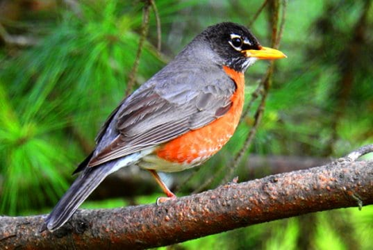 American RobinPhoto by: Ken Gibsonhttps://creativecommons.org/licenses/by-sa/2.0/