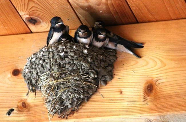 Barn Swallows in their nest -- waiting for dinner! Photo by: Jochen Schaft, public domain https://pixabay.com/photos/barn-swallows-muttergl%C3%BCck-swallows-2461911/