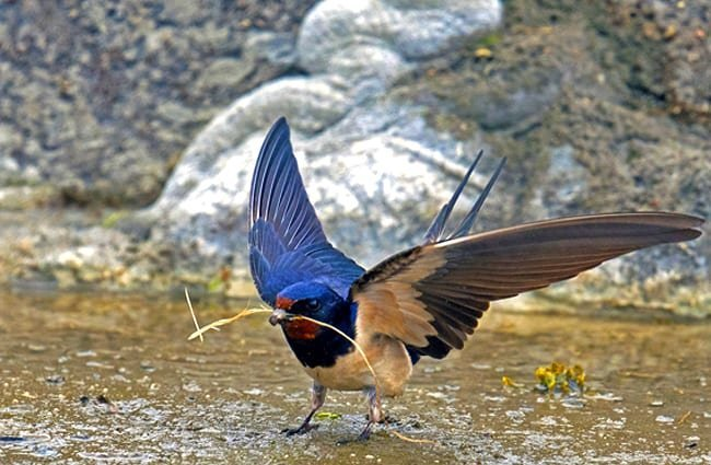 Beautiful Barn Swallow gathering nesting materials Photo by: Dr. Georg Wietschorke, public domain //pixabay.com/photos/barn-swallow-schwalbe-songbird-bird-3511842/