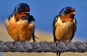 A pair of Horicon Marsh Barn Swallows on a ropePhoto by: chumlee10https://creativecommons.org/licenses/by/2.0/