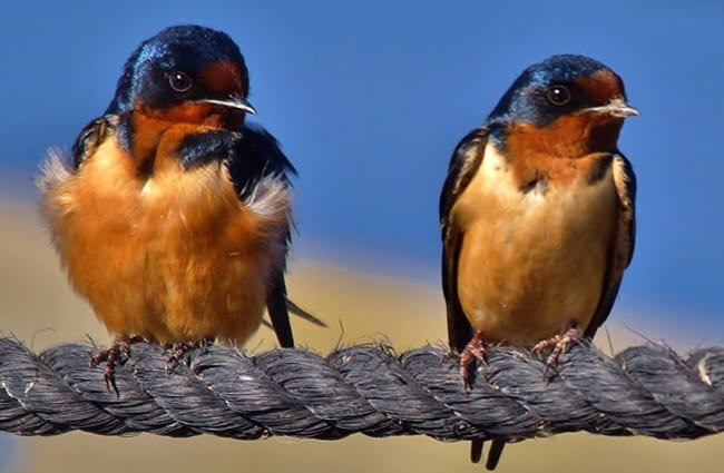 A pair of Horicon Marsh Barn Swallows on a ropePhoto by: chumlee10//creativecommons.org/licenses/by/2.0/