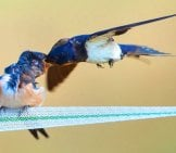 Adult Barn Swallow Feeding Its Growing Baby Photo By: Rob Zweers //creativecommons.org/licenses/by/2.0/
