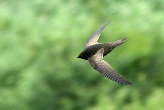 African Black SwiftPhoto by: Alan Manson CC BY-SA 2.0 https://creativecommons.org/licenses/by-sa/2.0