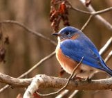 Bluebird Catching Some Raysphoto By: Danielle Brigidahttps://creativecommons.org/licenses/by/2.0/