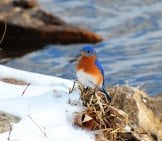 Bluebird On A Snowy Riverbankphoto By: Kansasphotohttps://creativecommons.org/licenses/by/2.0/
