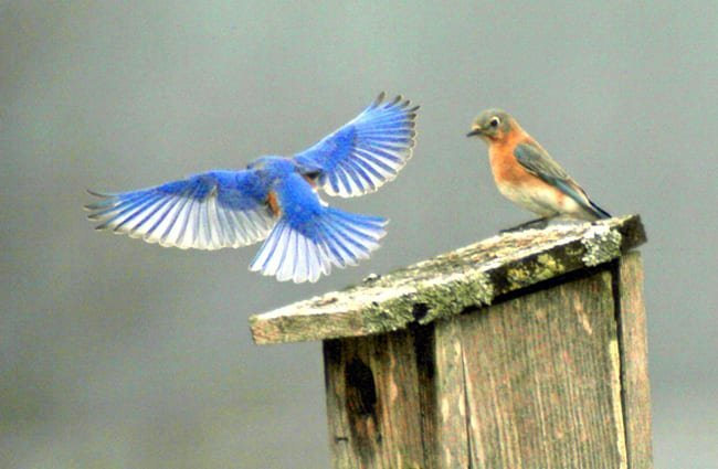 Eastern BluebirdsPhoto by: fishhawkhttps://creativecommons.org/licenses/by/2.0/