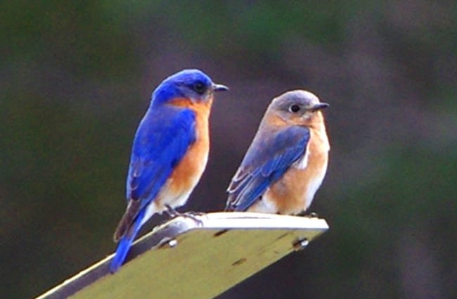 A pair of Bluebirds keeping watch Photo by: Virginia State Parks https://creativecommons.org/licenses/by/2.0/