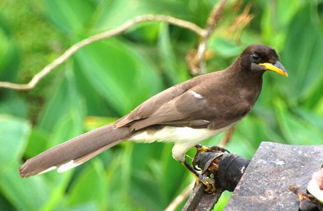 Juvenile Brown Jay, photographed in Costa Rica Photo by: rob Stoeltje from loenen, netherlands CC BY 2.0 https://creativecommons.org/licenses/by/2.0