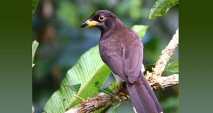 Brown Jay from the rearPhoto by: Andy Reago Chrissy McClarren CC BY 2.0 https://creativecommons.org/licenses/by/2.0