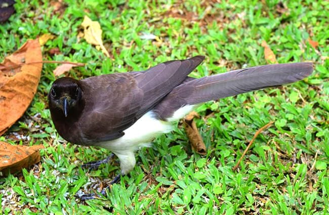 Brown Jay on the lawn Photo by: Andy Reago & Chrissy McClarren CC BY 2.0 https://creativecommons.org/licenses/by/2.0
