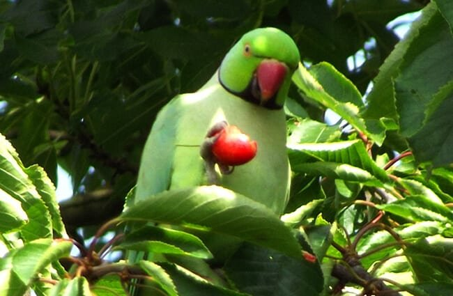 Beautiful Parakeet eating berriesPhoto by: Heather Smithershttps://creativecommons.org/licenses/by-sa/2.0/