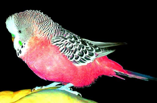Pink Fire Brigade Budgie Photo by: Jan Tik https://creativecommons.org/licenses/by-sa/2.0/
