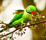 Rose Ringed Parakeet On A Small Branch Photo By: Mabel Amber, Still Incognito... Https://Pixabay.com/Photos/Rose-Ringed-Parakeet-Bird-Animal-4070856/