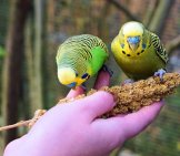 A Pair Of Parakeets Eating Seeds Photo By: Andreas Lischka Https://pixabay.com/photos/budgie-Budgerigar-On-The-Hand-1043673/