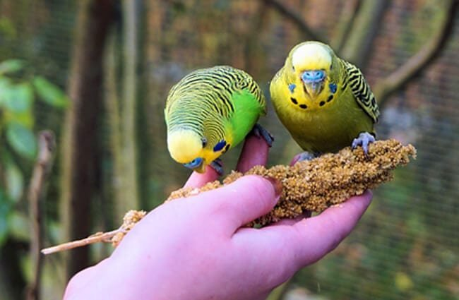Budgie - Description, Habitat, Image, Diet, and Interesting