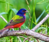 Painted Bunting Photo By: Andy Morffew Https://Creativecommons.org/Licenses/By/2.0/
