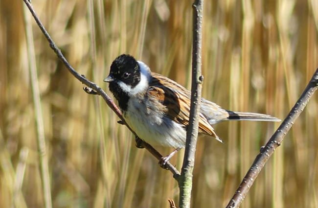 Reed Bunting Photo by: ianpreston https://creativecommons.org/licenses/by/2.0/