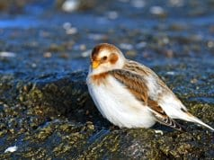 Snow BuntingPhoto by: Dr. Georg Wietschorke//pixabay.com/photos/snow-bunting-migratory-bird-3001677/