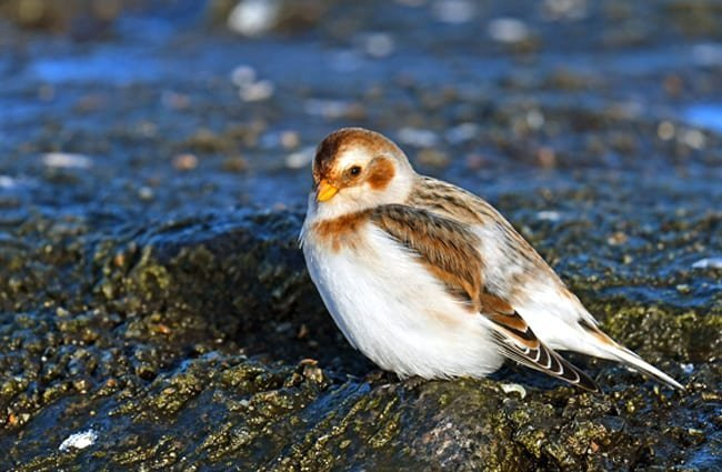Snow BuntingPhoto by: Dr. Georg Wietschorkehttps://pixabay.com/photos/snow-bunting-migratory-bird-3001677/