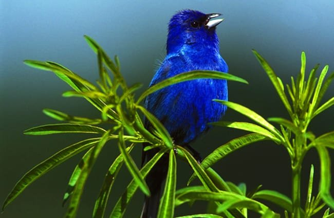 Indigo Bunting Photo by: skeeze https://pixabay.com/photos/indigo-bunting-bird-male-small-931660/