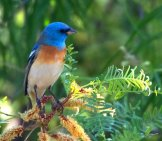 Lazuli Bunting Photo By: Bettina Arrigoni Https://Creativecommons.org/Licenses/By/2.0/
