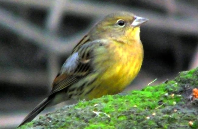 Japanese Yellow Bunting Photo by: Charles Lam https://creativecommons.org/licenses/by/2.0/