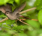 Amazing Shot Of A Catbird In Flight Photo By: Bill Majoros //creativecommons.org/licenses/by-Sa/2.0/