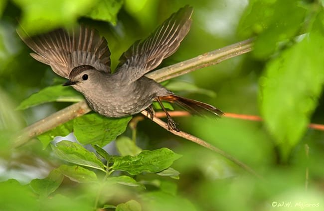 Amazing shot of a Catbird in flight Photo by: Bill Majoros https://creativecommons.org/licenses/by-sa/2.0/
