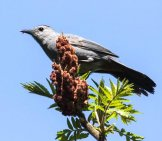 Catbird Perched High On A Treetop Photo By: Foxman Https://creativecommons.org/licenses/by-Sa/2.0/