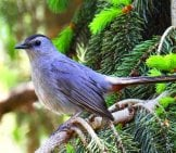Gray Catbirdphoto By: Ken Gibson//creativecommons.org/licenses/by-Sa/2.0/