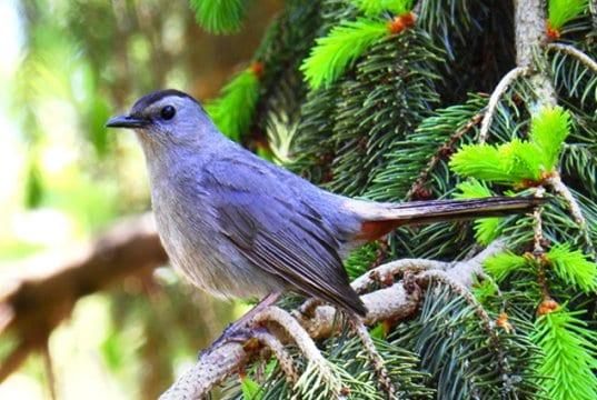 Gray CatbirdPhoto by: Ken Gibsonhttps://creativecommons.org/licenses/by-sa/2.0/