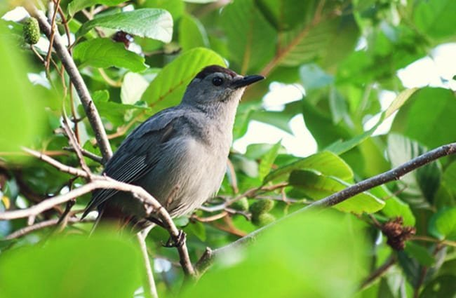 Gray Catbird in the trees Photo by: Emily Carlin https://creativecommons.org/licenses/by-sa/2.0/