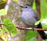 Catbird Sitting Pretty On A Branch Photo By: John Benson Https://creativecommons.org/licenses/by-Sa/2.0/