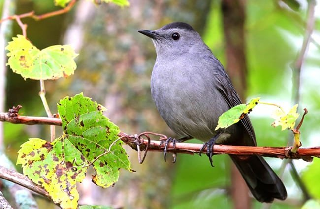 Catbird sitting pretty on a branch Photo by: John Benson //creativecommons.org/licenses/by-sa/2.0/