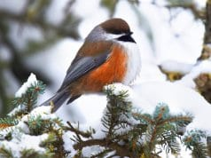 A beautiful Boreal Chickadee on a winter branchPhoto by: Andy Reago & Chrissy McClarren//creativecommons.org/licenses/by/2.0/